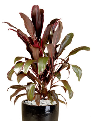 indoor-plant-hire-cordyline-ru House Plant With Purple Veins Leaves on house plants with small leaves, house plants with light green leaves, wandering jew with fuzzy leaves, house plants with long green leaves, house plant rubber plant, house with red flowers, house plants with dark red leaves, purple foliage plants with leaves, olive tree green leaves, poisonous plants with purple leaves, house plants and their names, house plants with colorful leaves, house plants with waxy red blooms, house plant purple heart, perennial plants with purple leaves, house plants with bronze leaves, florida plants with red leaves, tomato plants with purple leaves, purple house plant fuzzy leaves, house plants with shiny leaves,