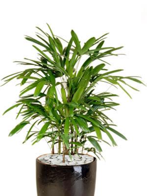 office plant hire rhapis palm