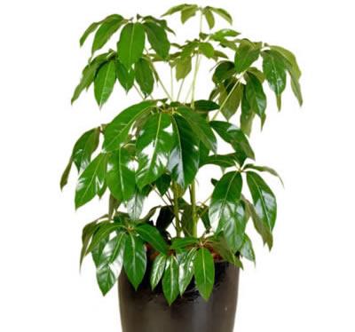 plant info queensland umbrella tree