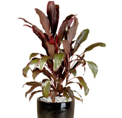 Plant Info Red Leaf Cordyline Indoor Plants Tropical