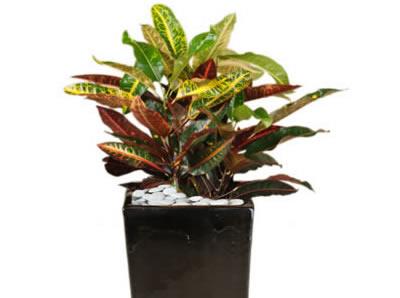 plant info croton