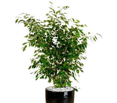 Ficus exotica affordable ficus exotica tree lvs with for Ficus artificiel