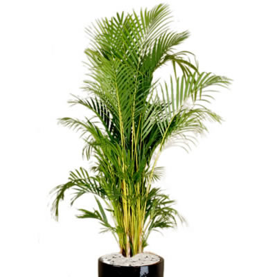 plant info golden cane palm