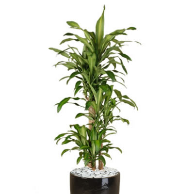 Plant Info Happy Plant Indoor Plant Hire Tropical