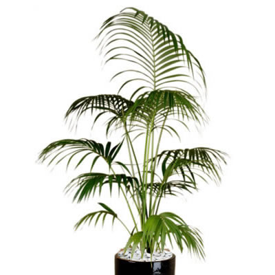 plant info kentia palm