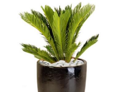 plant info sago palm