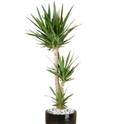 plant info yucca indoor plant hire tropical plant rentals. Black Bedroom Furniture Sets. Home Design Ideas
