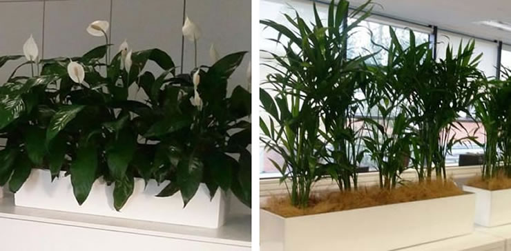 bamboo palm and peace lilly