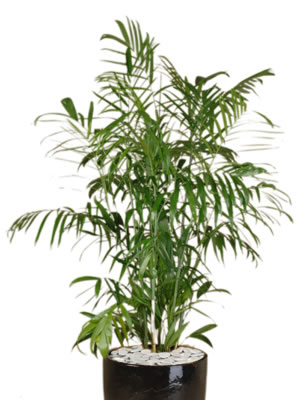 indoor plant hire bamboo palm