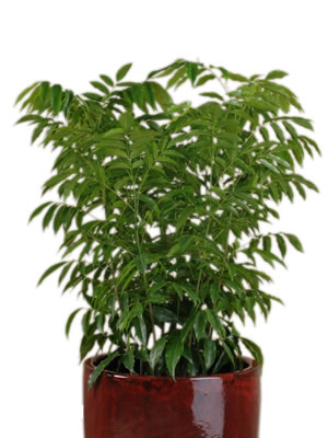 indoor plant hire blackbean