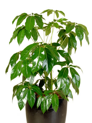 indoor plant hire brassia