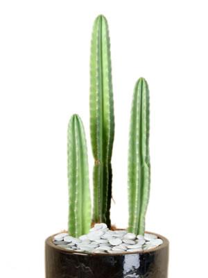 indoor plant hire cactus