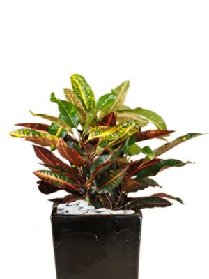 indoor plant hire croton