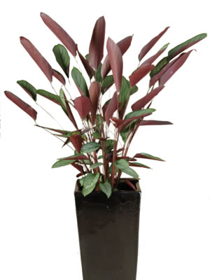 indoor plant hire ctenanthe grey star