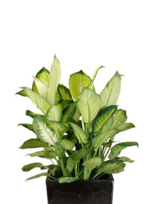 indoor plant hire dieffenbachia