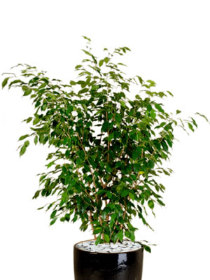 indoor plants ficus bushy