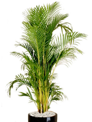 indoor plants golden cane palm