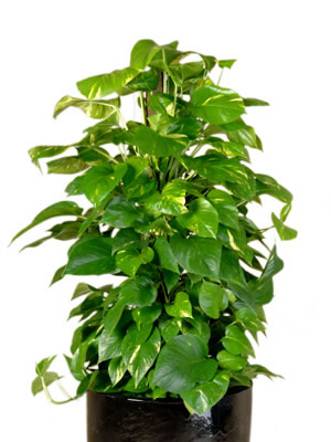 indoor plants golden pothos