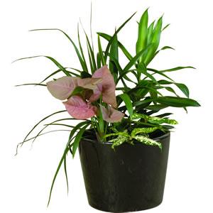 mini garden plant pot hire