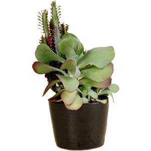 mini garden succulent plant pot hire