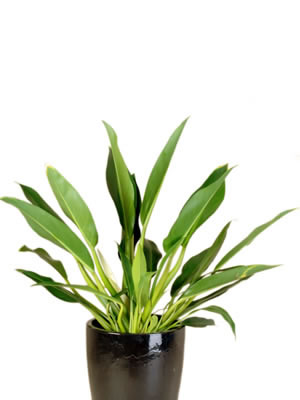 office plant hire philodendron cannifolia