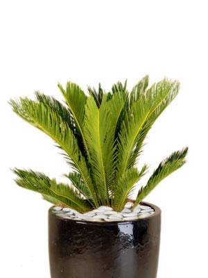 office plant hire sago palm