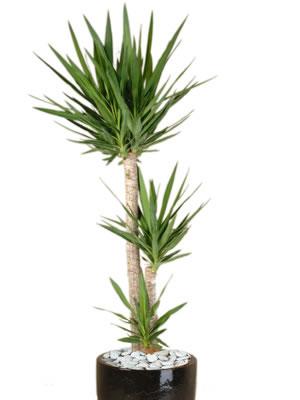 office plants yucca