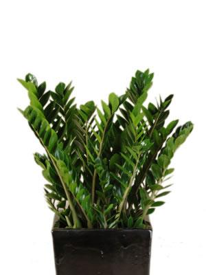 office plants zanzibar gem