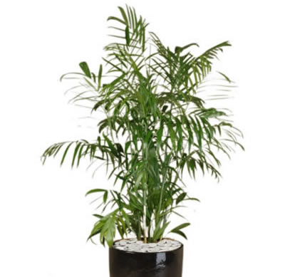 Plant Info Bamboo Palm Indoor Plant Hire Tropical