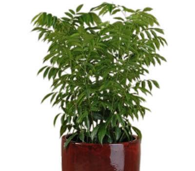 plant info blackbean