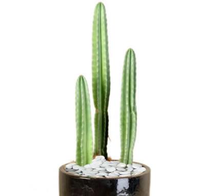 plant info column cactus