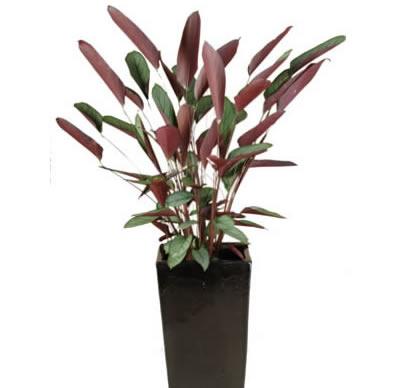 plant info ctenanthe grey star