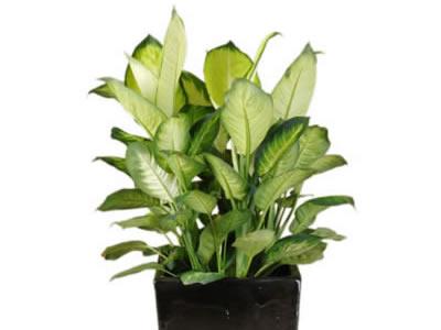 plant info dieffenbachia