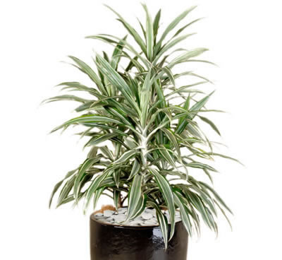 Plant Info Striped Dracaena Indoor Plant Hire Tropical