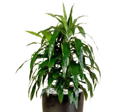 plant info dracaena janet craig