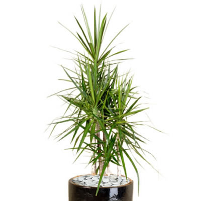 Plant Info Dragon Tree Indoor Plant Hire Tropical