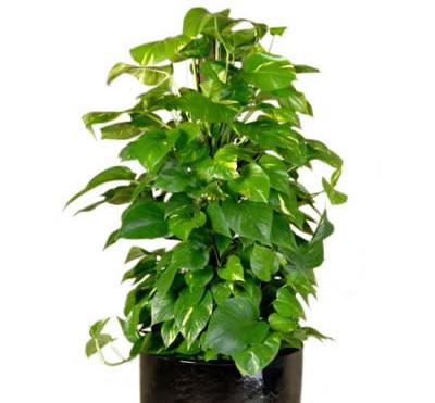 plant info golden pothos