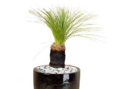 plant info grasstree