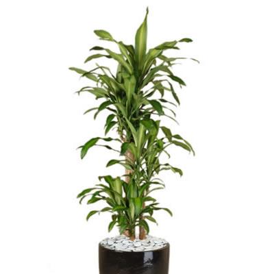 plant info happy plant