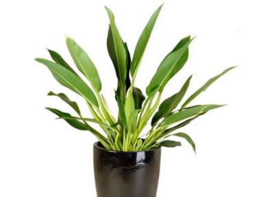 plant info philodendron cannifolia