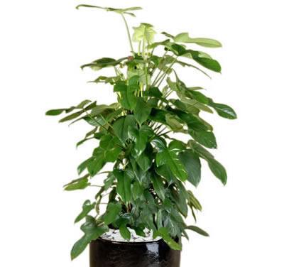 plant info philo panda