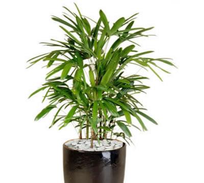 plant info rhapis palm