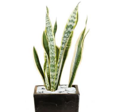 plant info sanseveria