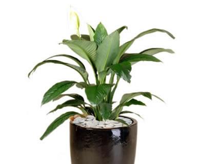 plant info madonna lilly