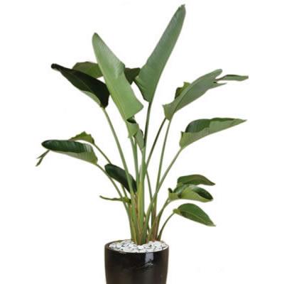 plant info strelitzia