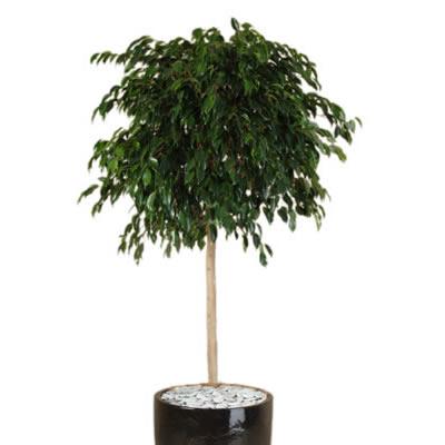 plant info topiary ficus