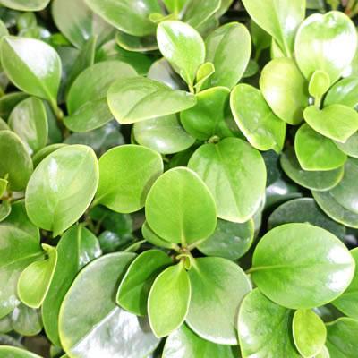 Peperomia Green