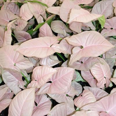Pink Syngonium