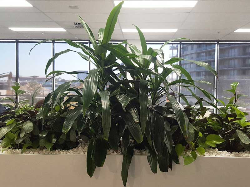 tambour plants indoor office plant hire