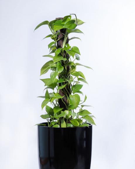 pothos devils ivy top 5 indoor plants hire